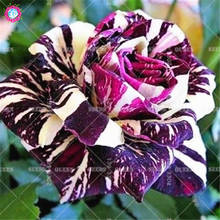100pcs Mixed Color Rose Seeds Bonsai Fower Seeds Double Flap Blood Climbing Rose Plants for Home Garden Professional packaging