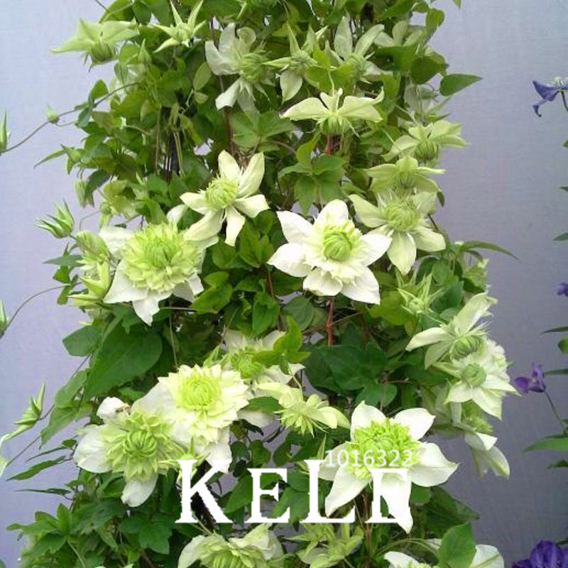 Best-Selling!100 PCS Clematis Bonsai Patio And Garden Balcony Potted Green Plants Green Clematis Climbing Plant,#TE2U8A