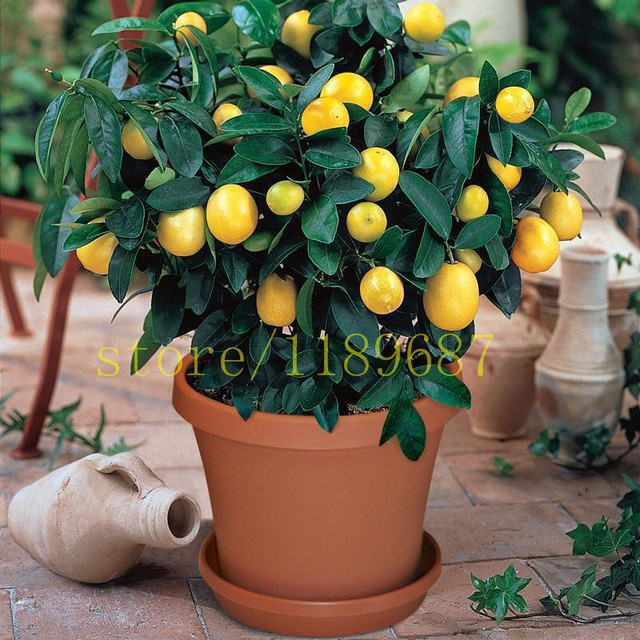 1bag 20 Pcs Bonsai Lemon Tree Plants No Gmo Fruit For Home Garden