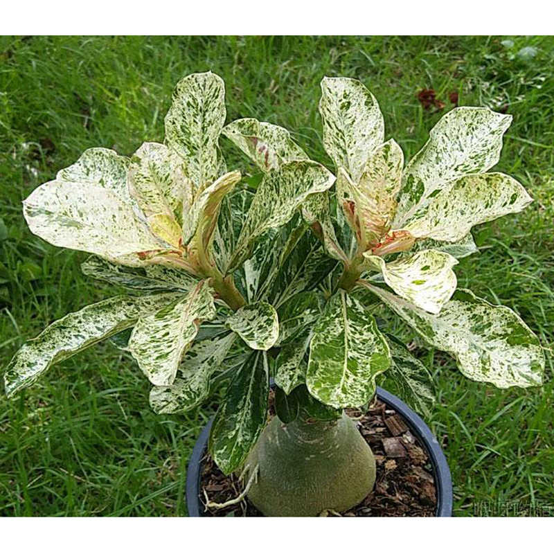100% True Desert Rose Scarce Grafted Variegated Leaves petals Home Garden Flowers Adenium Obesum 1 PCS