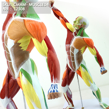 CMAM/12308 Muscle, 55cm, full body, colored, Plastic Human Body Muscle Teaching Anatomical Model