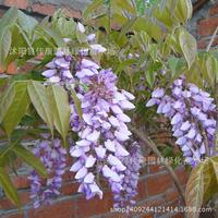 tree bonsai collected wisteria Wisteria floribunda bonsai plant Zhu move rattan cane strokes beanstalk real shot 200g / Pack