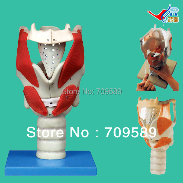 ISO Advanced Anatomical Larynx model, Structure and Function Model of larynx цены