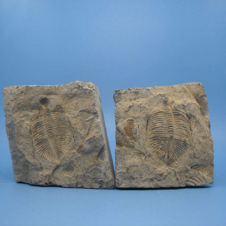 Décoration de la maison cadeaux couronne hors insecte spécimen trilobite fossiles paléontologie de l'enseignement des sciences Shiyan Zi pierre