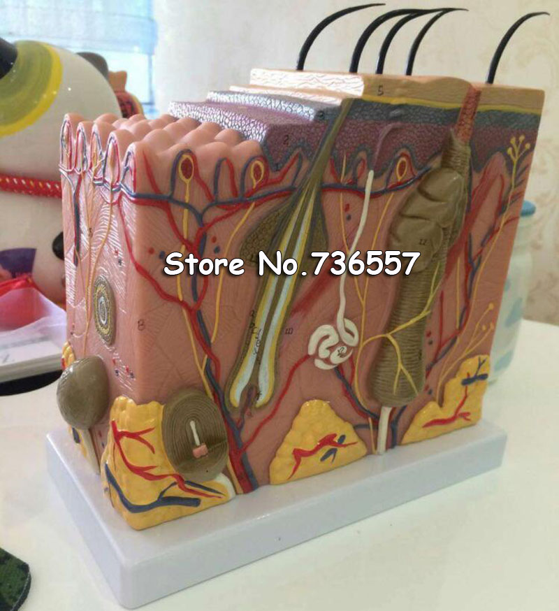 50:1 Human Anatomical Skin Subcutaneous Tissue Dissection Medical Model School Hospital Teaching Resources Educational Supplies50:1 Human Anatomical Skin Subcutaneous Tissue Dissection Medical Model School Hospital Teaching Resources Educational Supplies