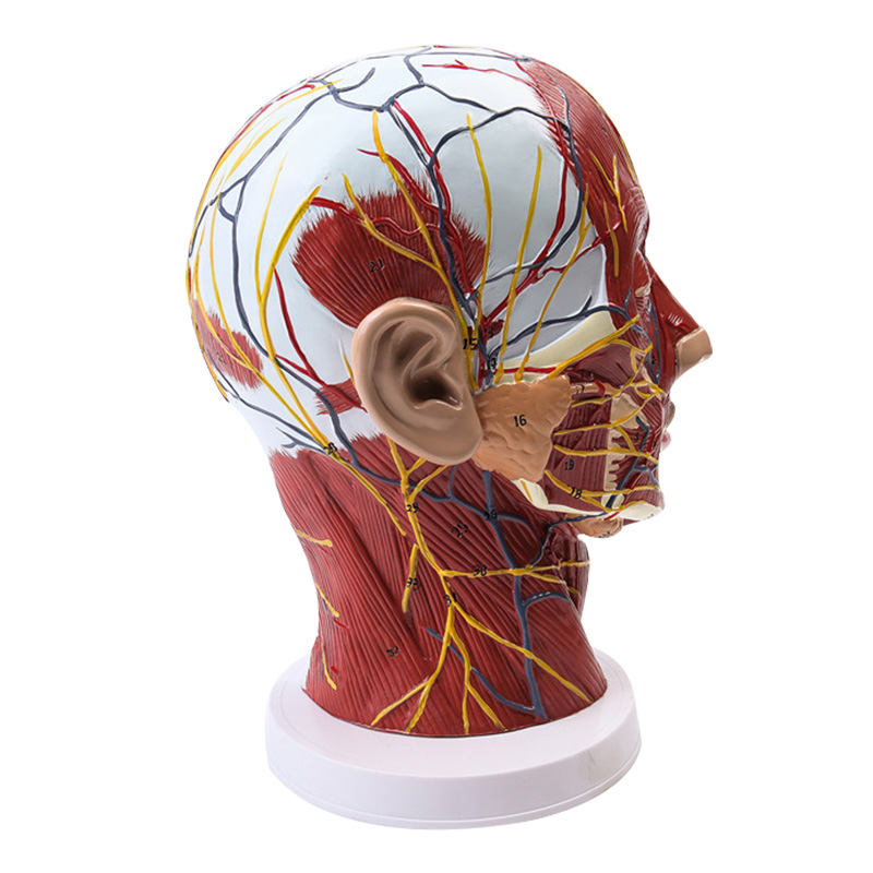 Head Neck Superficial Nerve Vascular Muscle Model  School Teaching Model Supply