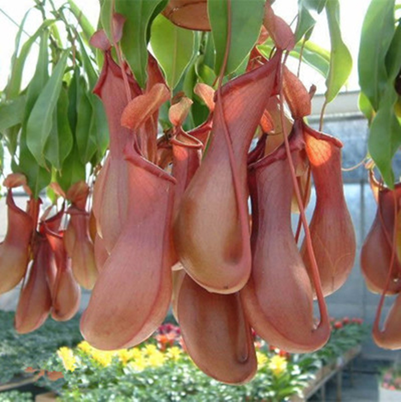 200pcs Catch Fly/mosquito Nepenthes Seeds,Bonsai Eat Mosquito Varieties Of  Seed Plants Mixed