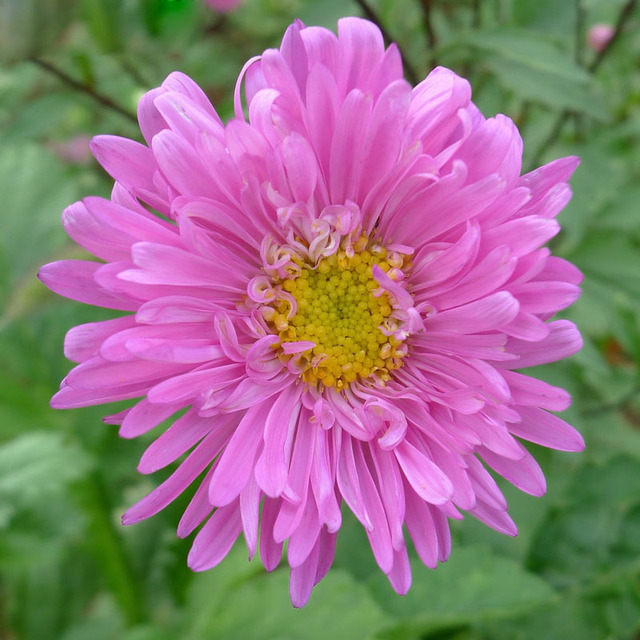 Hot selling pink callistephus chinensis flower seeds balcony potted hot selling pink callistephus chinensis flower seeds balcony potted bonsai flower seeds aster plant seeds 120pcs mightylinksfo