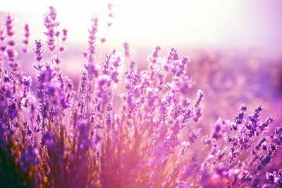 lavender background wallpaper - HD