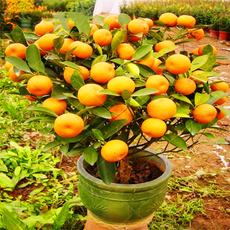 10 pcs/Bag Bonsai Orange Tree Seeds Organic Fruit Tree Seeds For flower pot planters very big and delicious.Ornamental plants.
