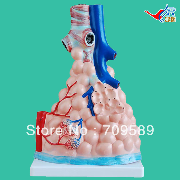лучшая цена ISO Anatomical Alveolus model, Magnified Pulmonary Alveolus Model