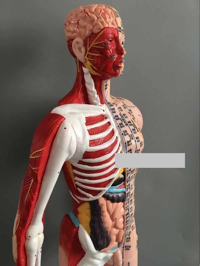 Erfreut Anatomie Modell Für Künstler Ideen - Menschliche Anatomie ...