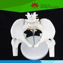 Medical teaching supplies biological Pelvis skeleton model with 4th and 5th lumbar vertebrea and femur heads