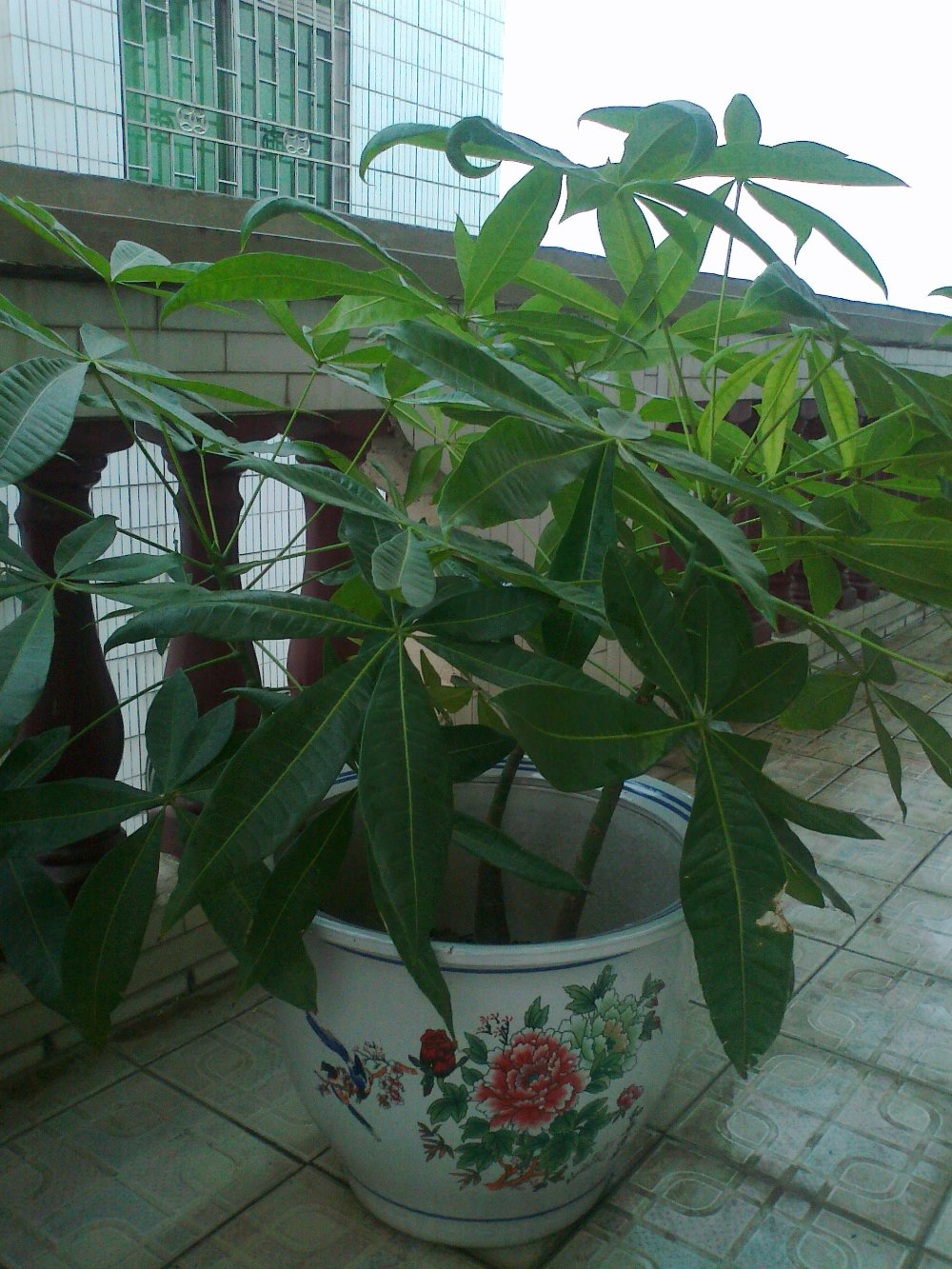 plant color Picture - More Detailed Picture about Pachira ...