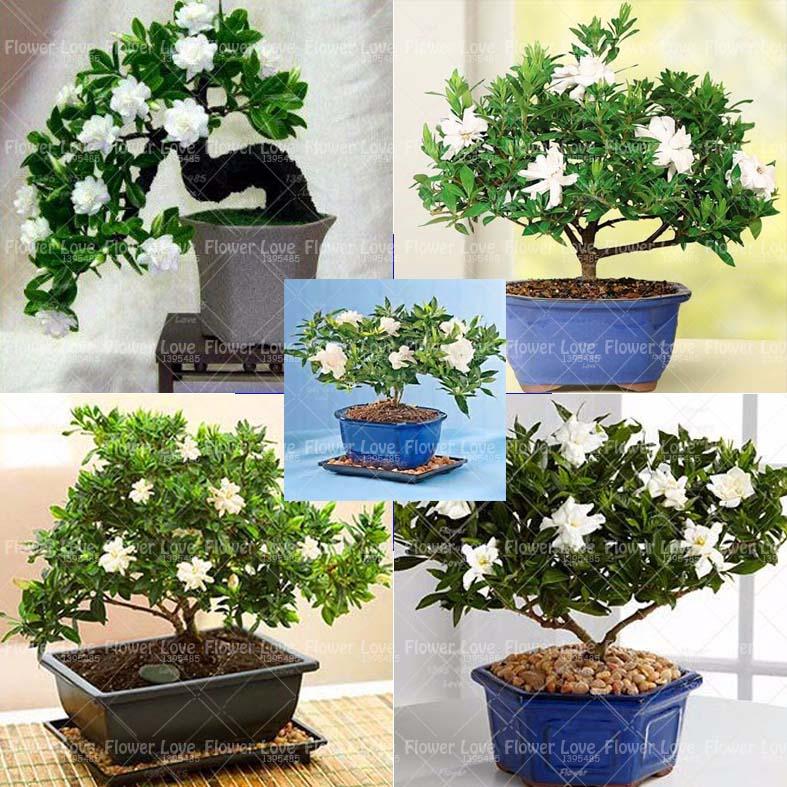 Acquista all 39 ingrosso online gardenia fiore pianta da - Gardenia pianta da giardino ...