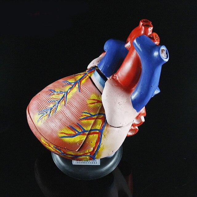 3X Vergrößert herz anatomie modell große atrium ventrikels ...