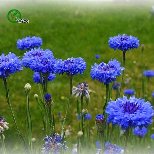 Cornflower Blue Flowers