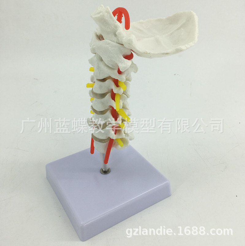 1:1 Life Size Human Cervical vertebra Carotid Artery Model Occipital Human Skeleton Anatomy Model Medical Supplies