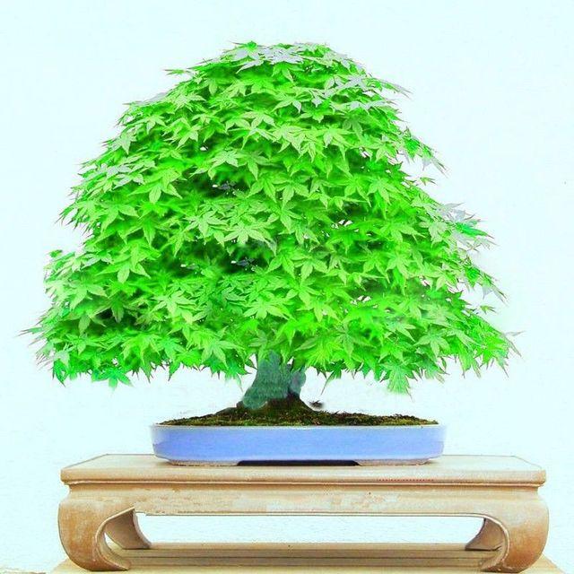 25 Green Japanese Bonsai Maple Tree Seeds Mini Bonsai Tree For