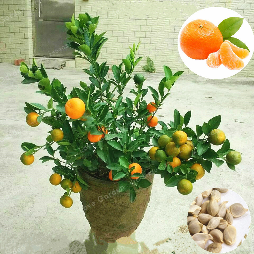 30 pcs citrus reticulata bonsai potted edible organic orange fruit bonsai dwarf standing orange