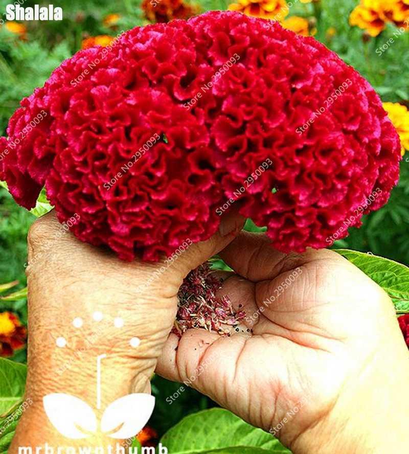 Большая распродажа! 1000 шт. фиолетовый Фламинго кокскомб (Жалюзийная ограда) Plantas бонсай цветок Floresling комнатные растения для декора сада