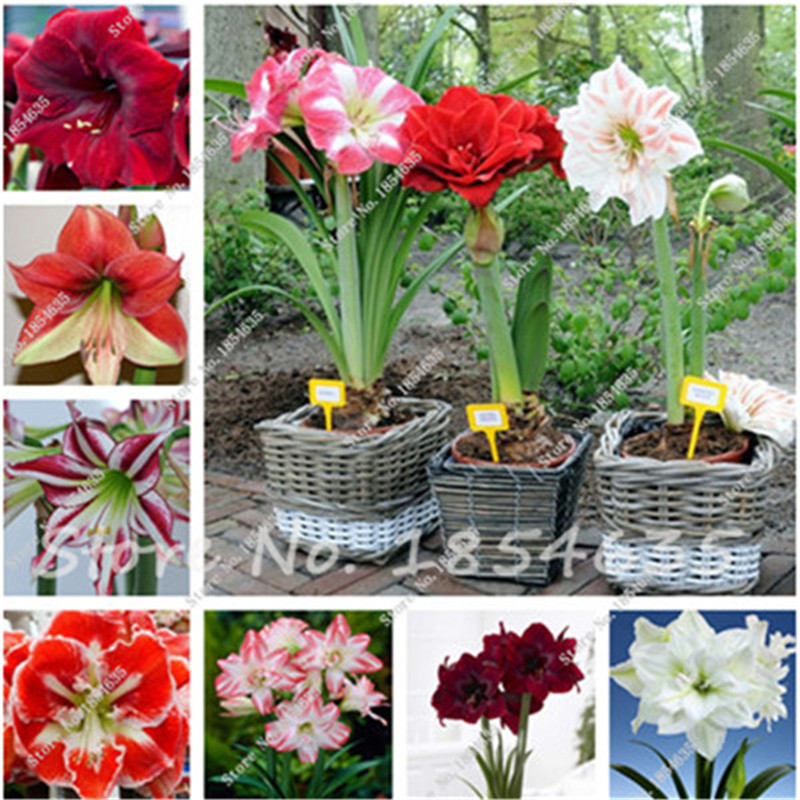 100 Pcs Amaryllis Seeds Cheap Chinese Flower Seeds Barbados Lily Potted Seed Bonsai Balcony Flower For Home Garden Planting