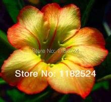 20 семена — свежий редкие » мед » Adenium Obesum семена — бонсай семена