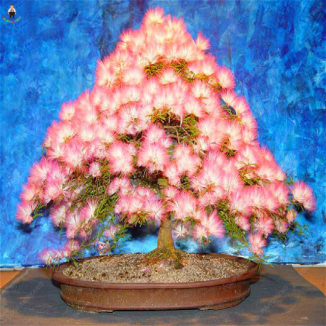 Free Shipping 20Pcs Bonsai Acacia tree 100% Genuine Bonsais Plants Organic Blooming Flower Garden decoration