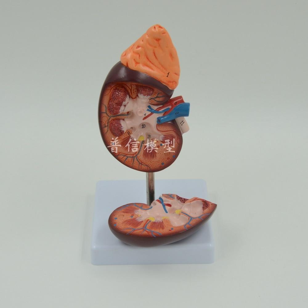 DongYun brand enlarged human kidney anatomical model organs model Medical Science teaching supplies