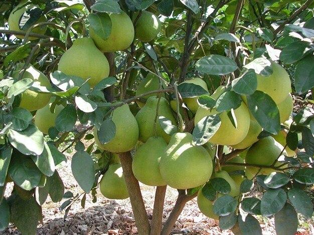 Pomelo-Tree-Seeds-Grapefruit-Shaddock-Great-Taste-organic-fruit-seeds-50pcs-For-Orchard-Home-Gardening-Free.jpg