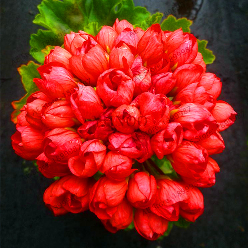 Best-Selling!BELLFARM 100PCS Geranium 'Red Pandora' Fully Fire Red Perennial Flowers Bonsai, Heirloom Pelargonium Garde
