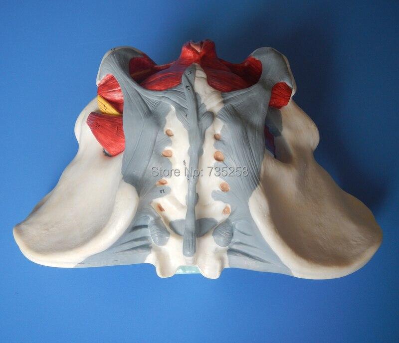 Weibliche Becken, Weibliche Becken Mit Beckenboden Muskel Modell ...