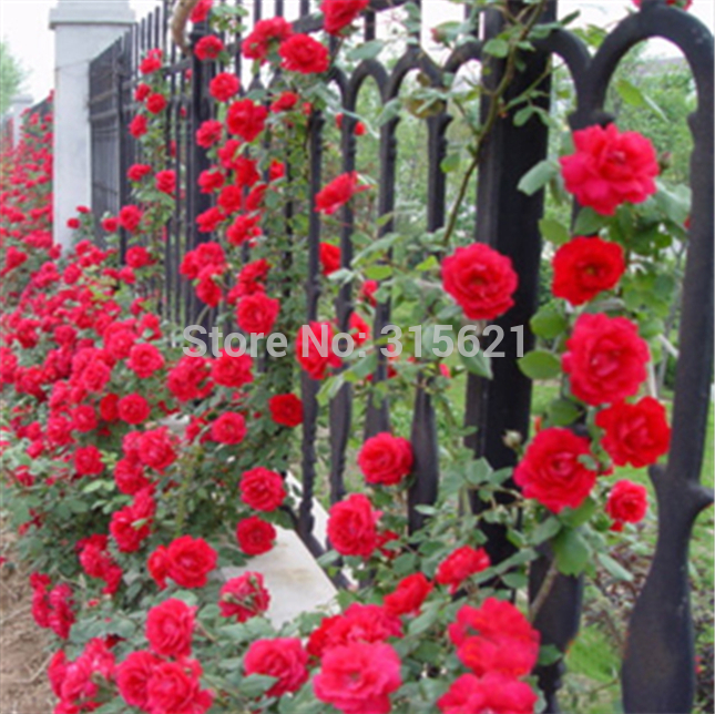 Red Climbing Plant Polyantha Rose Seeds Diy Home Garden Courtyard Pot Flower 100pcs Free Shipping Bonsai Flower Seeds Sementes