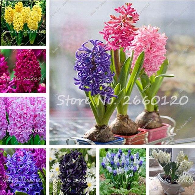 1 pcs verdadeiro jacinto bulbo bulbos de flores de jacinto - Jacinto planta interior ...
