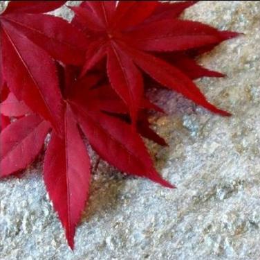 25 Scarlet Carolina Red Maple Tree Acer Rubrum Seeds Plant Seeds