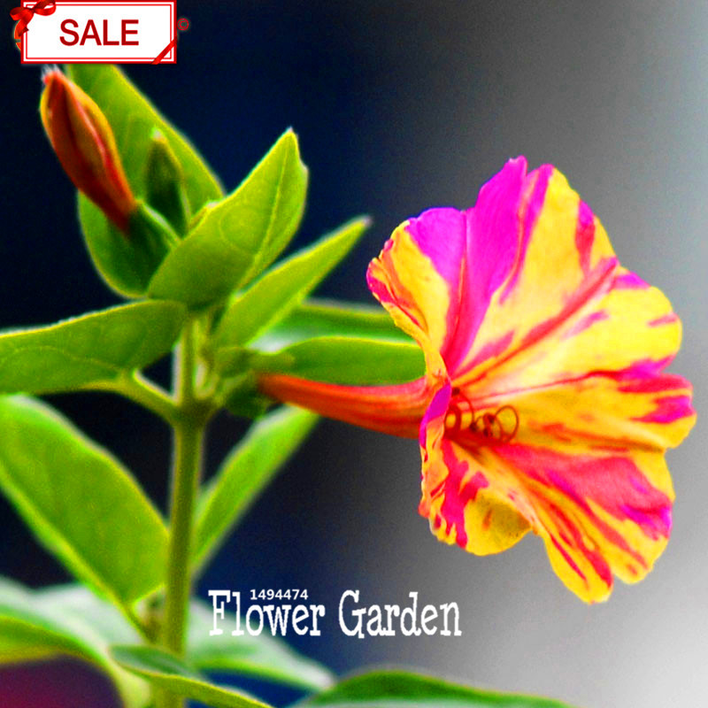 Hot Sale!30Seeds/bag Jasmine Flower Seed Garden Plants Multicolor Flower Charm Chinese flower DIY Home Garden,#V4SR5G