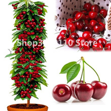 New Arrival! Seedsplants cherry Bonsai Australia black tree Plants rare fruit Plantas for home garden planting