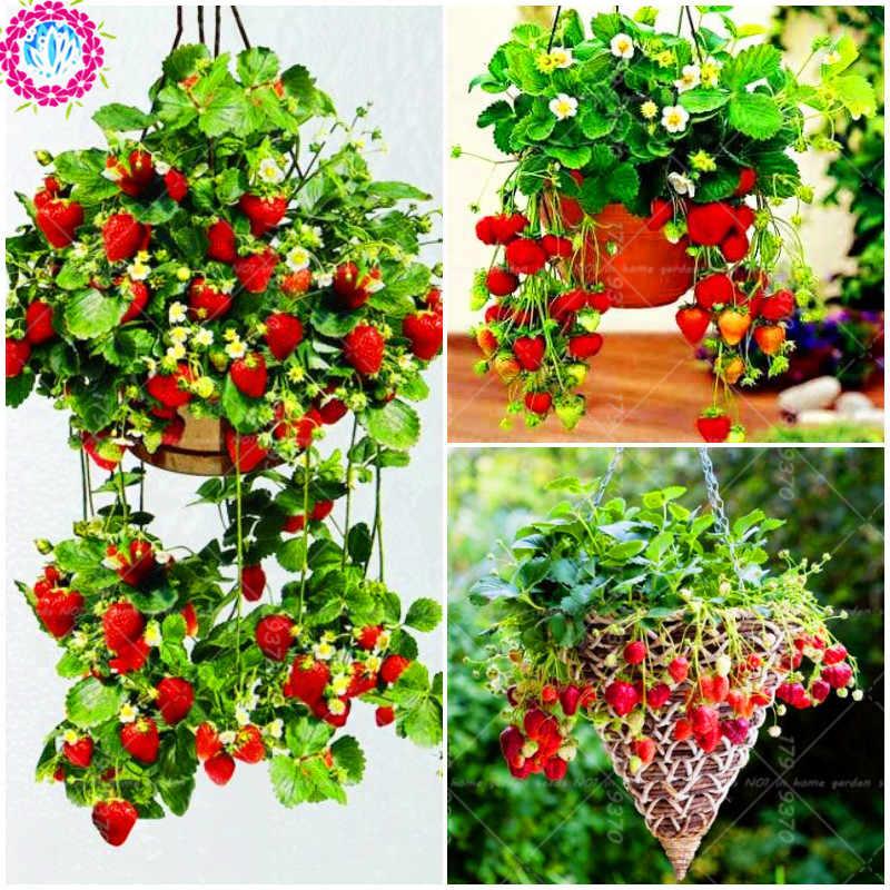 300 pçs/saco Pendurado cesta de fruta Morango Fragaria ananassa perene plantas de interior bonsai vaso de frutas para as plantas da horta
