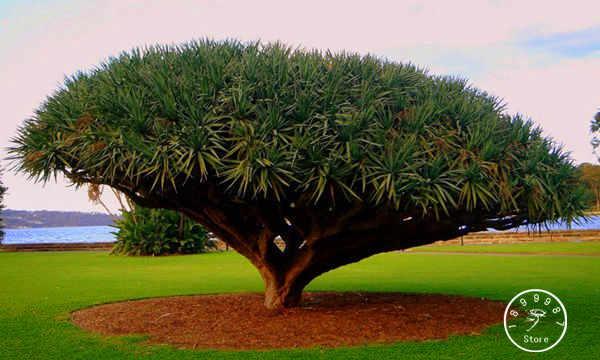 Diy casa jardim planta 20 peças ilha canária dragão árvore de sangue dracaena draco showy, exótico, raro frete grátis, # qzih47