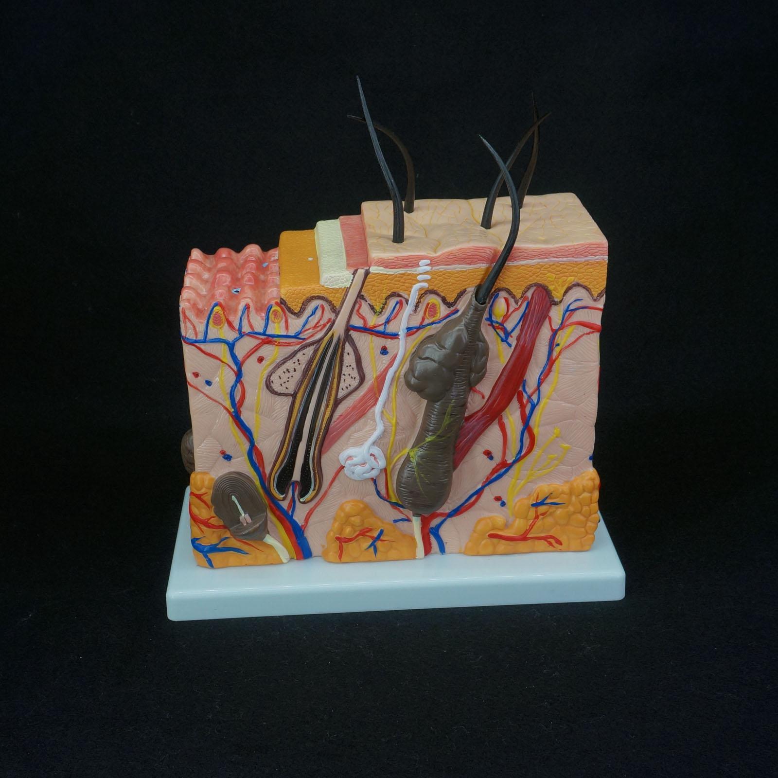 70X Life Size Anatomical Human Skin Block Model Medical Dermatology ...