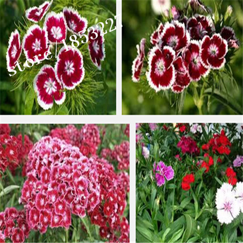 GGG 100 DIANTHUS Allwoodii X Alpinus Seeds* Dianthus seeds,Beautiful Flower Seeds,For Home Garden And Bonsai
