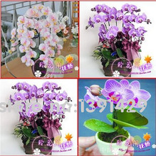 hydroponic orchid seeds,indoor flowers bonsai four seasons,Phalaenopsis Orchids – 100 pcs seeds