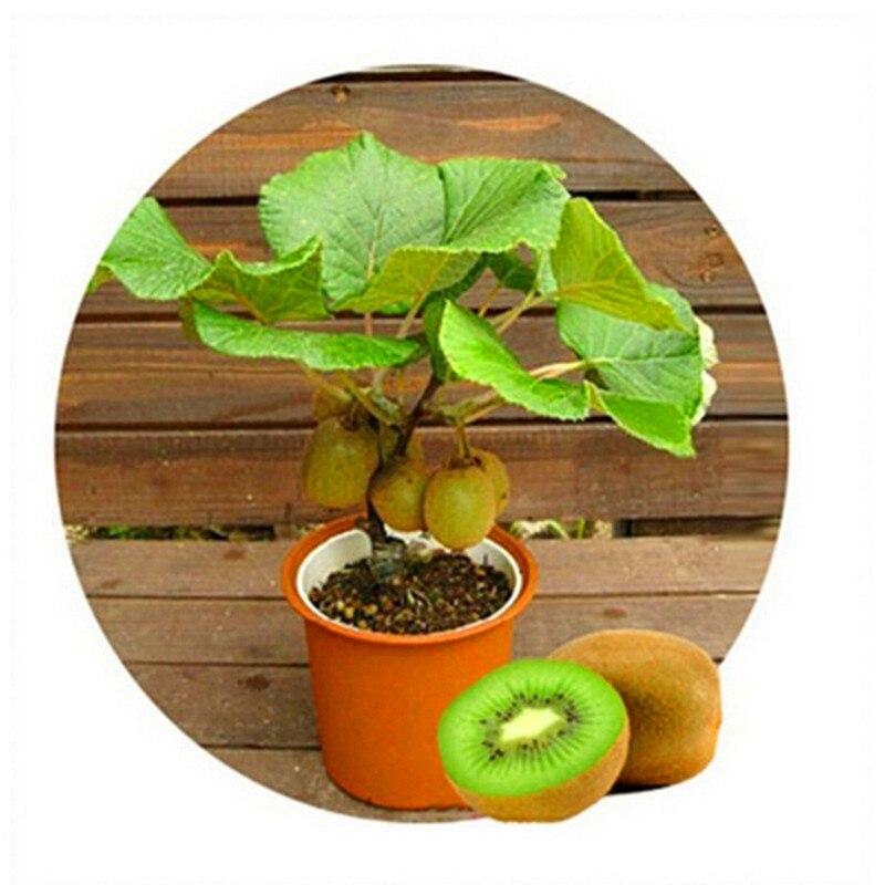 aliexpress  buy thailand kiwi tree seeds mini fruit bonsai, Natural flower
