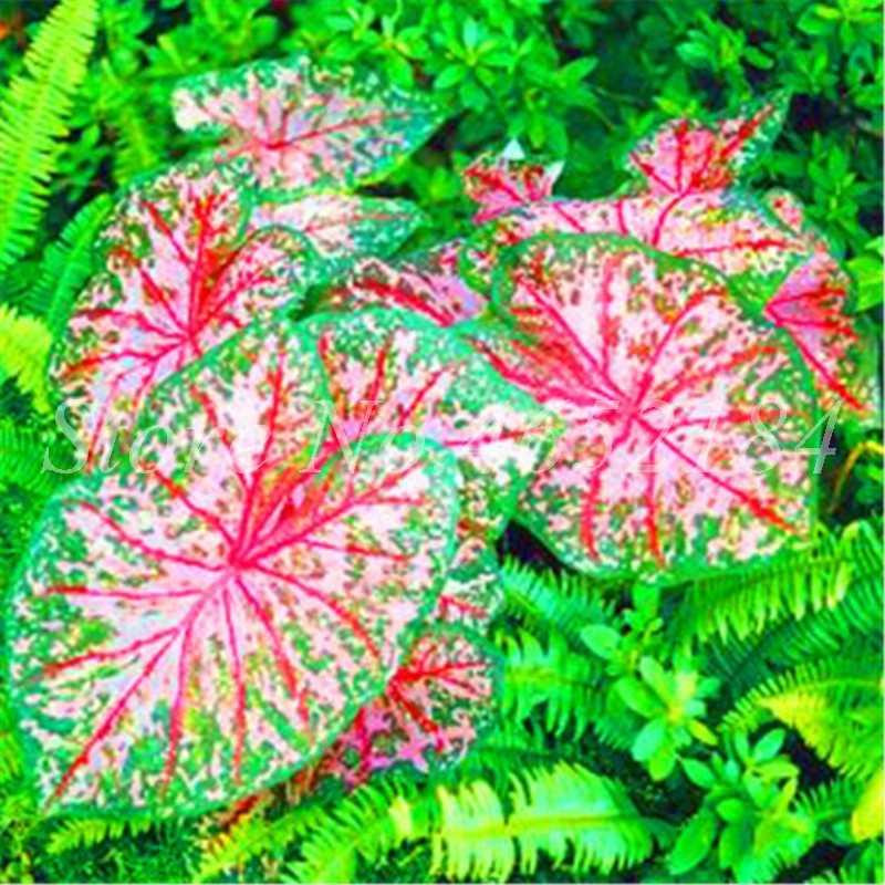 تخفيضات! 200 قطعة Caladium الملونة قزم بونساي النبات حرق ارتفع الفيل الأذن جميلة زهرة بونساي أصائص زرع لحديقة المنزل