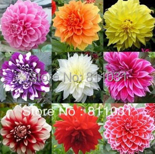fleur dahlias-achetez des lots à petit prix fleur dahlias en