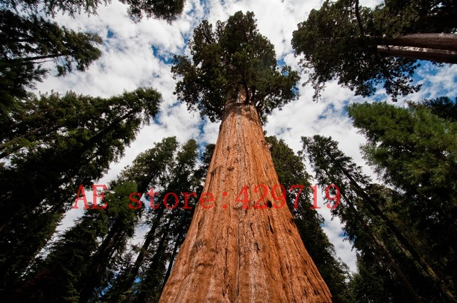 Rare giant redwood  tree seeds For Garden Decoration