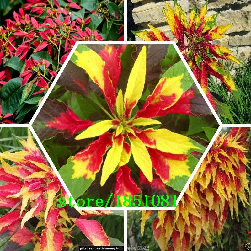 100 шт./пакет, пуансеттия, euphorbia pulcherrima, Комнатные растения, посадка сезонов, цветущие растения ...