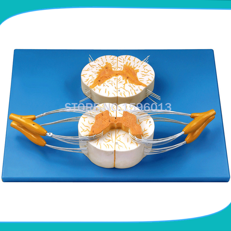 HOT Spinal Cord with Nerve Branches Model ,spinal cord and spinal nerve branch model artificial bunch with 11 branches