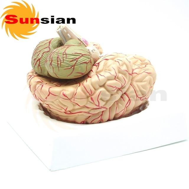 Cerebro y las arterias cerebrales, modelo anatómico, modelo de la ...