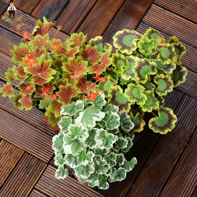 50 pz Rare Geranio Pianta Variegato di Geranio In Vaso Winter Garden Piante Da F